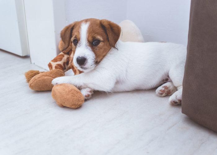 Corona-Virus und Hund
